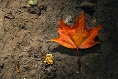 枫叶在地面上的秋天,后面由太阳点燃了 库存图片