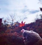 枫叶在日本秋天 免版税库存照片
