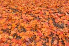 枫叶在秋天 图库摄影