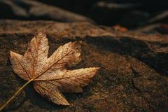 枫叶用露水下落在石头的盖 秋天背景特写镜头上色常春藤叶子橙红 免版税库存图片