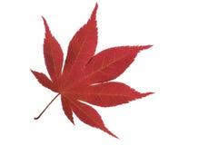 枫树叶子 免版税库存照片
