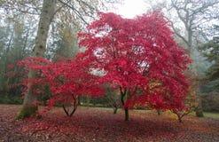 枫树树的秋天颜色 库存图片