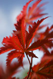 枫树生叶红色 库存图片
