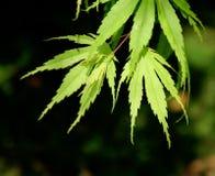 枫树绿色日语留下槭树 库存照片