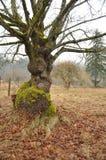 枫树被打结的macrophyllum结构树 库存照片