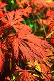 枫树japonicum 免版税图库摄影