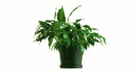 枯萎室内植物的定期流逝复兴和 影视素材