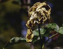 枯萎的玫瑰色花 免版税库存照片