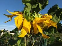 枯萎的黄色向日葵 库存照片