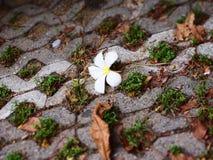 枯萎lan thom花和几片叶子在砖地面说谎 免版税图库摄影