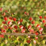 枸子属植物分支在秋天 免版税库存图片