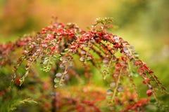 枸子属植物灌木用在分支的红色莓果,秋季背景 特写镜头五颜六色的秋天灌木在公园 免版税库存图片