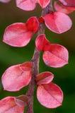 枸子属植物离开红色 免版税库存照片