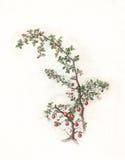 枸子属植物绘画水彩 库存例证