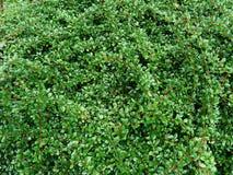 枸子属植物背景植物 库存图片