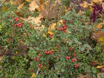 枸子属植物落叶灌木 库存照片