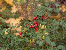 枸子属植物落叶灌木 免版税图库摄影