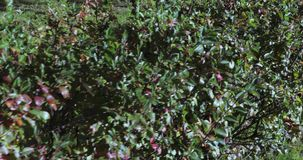 枸子属植物被按的灌木 影视素材