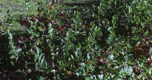 枸子属植物被按的灌木 股票视频