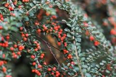 枸子属植物conspicuus horizontalis -西藏枸子属植物 特写镜头被射击灌木用橙色莓果 图库摄影