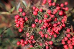 枸子属植物horizontalis 库存图片