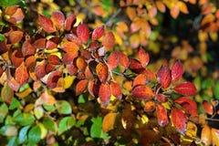 枸子属植物lucidus分支与红色的在秋天离开 免版税库存图片
