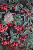 枸子属植物salicifolius分支 免版税图库摄影