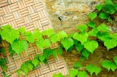 黄柏、石头和藤抽象墙壁  免版税库存照片