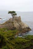 柏偏僻的结构树 库存照片