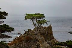 柏孤立结构树 库存图片
