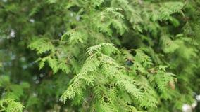 柏家庭植物的特写镜头与软的阳光的 股票视频