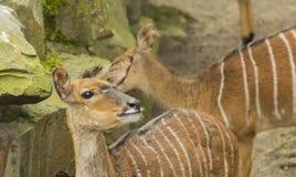 柏林麋鹿 免版税库存图片