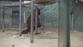 柏林,德国- 2018年11月23日:猩猩收集款待并且去在柏林动物园里吃午餐 影视素材