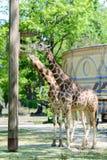 柏林,德国- 2016年5月07日:吃草在动物园的两头长颈鹿 免版税图库摄影