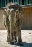 柏林,德国- 2016年5月07日:在动物园的一头婴孩大象 库存图片