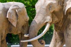 柏林,德国- 2016年5月07日:联接在柏林动物园的非洲大象夫妇  免版税图库摄影