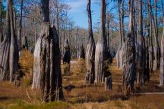 柏树丛结构树 免版税库存图片