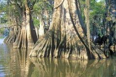 柏树在多沼泽的支流,湖Fausse Pointe国家公园,路易斯安那 免版税库存照片