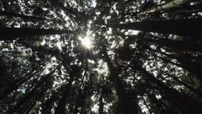 柏树在阿里山风景区,台湾加冠与发光通过森林的太阳 股票录像