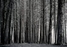 柏树树丛,黑白 免版税库存照片