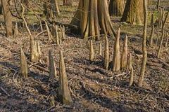 柏树膝盖在森林里 免版税库存照片