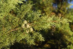 柏树arizonica,变态反应原厂 图库摄影