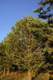 柏树arizonica,变态反应原厂 免版税库存图片