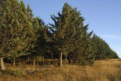 柏树arizonica,变态反应原厂 库存图片