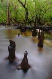 柏沼泽结构树 免版税库存照片