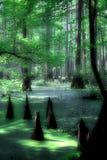 柏神秘的沼泽 免版税库存照片
