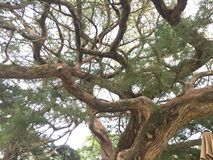 柏粗糙的结构树 免版税图库摄影
