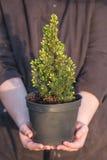 柏 在一个罐的杉木在手上 免版税库存照片