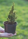 柏 在一个罐的杉木在手上 免版税库存图片