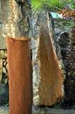 黄柏harverster& -暴露的软木树-栎属软木新近地被收获的吠声x27; s轴,黄柏收获 库存图片
